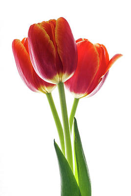 Beautiful Orange Tulips On White Poster by Vishwanath Bhat
