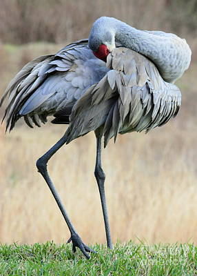 Beautiful Preening Sandhill Crane Poster