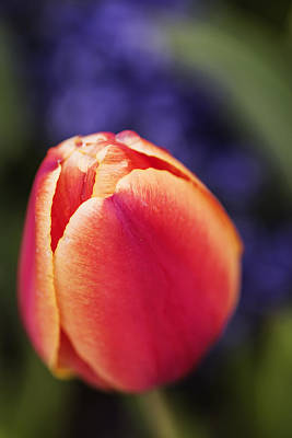 Beautiful Red And Orange Colored Tulip  Poster by Vishwanath Bhat