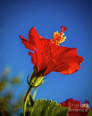 Beautiful Red Hibiscus Poster