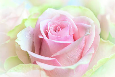 Beautiful Rose Flower Closeup For Romantic 1background. Poster by Yurii Agibalov