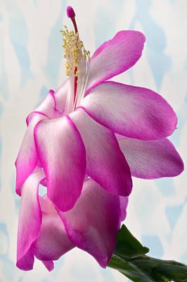 Beautiful Schlumbergera. Poster by Terence Davis