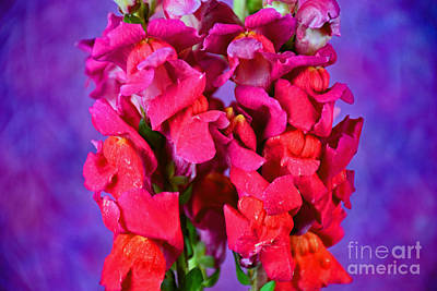 Beautiful Snapdragon Flowers Poster by Ray Shrewsberry