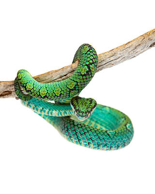 Beautiful Sri Lankan Palm Viper Poster