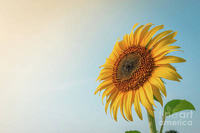 Poster featuring the photograph Beautiful Sunflower And Sun Light Form Top Left. by Tosporn Preede