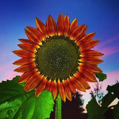Beautiful Sunflower On The Night Sky Background Poster by Polina Brener