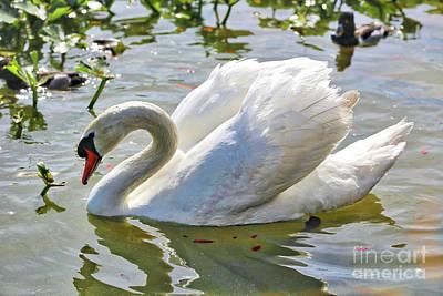 Beautiful Swan Poster