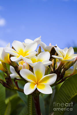 Beautiful White Frangipani Flowers Poster by Jorgo Photography - Wall Art Gallery