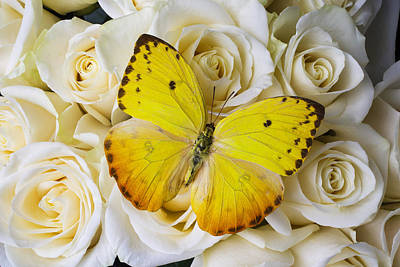 Beautiful Yellow Butterfly On Roses Poster