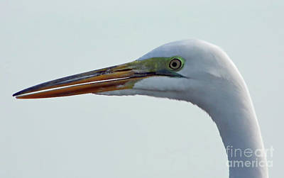 Beauty In The Great Egret Poster