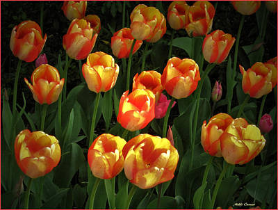Bed Of Tulips Poster