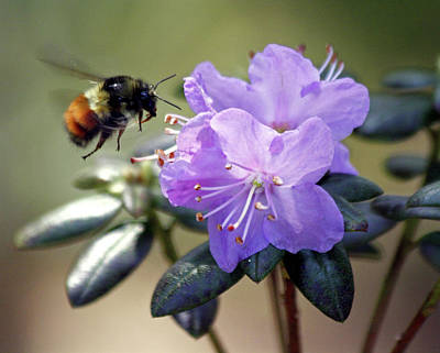 Poster featuring the photograph Bee And Bob's Blue by Chris Anderson