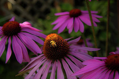 Bee And Coneflower Poster