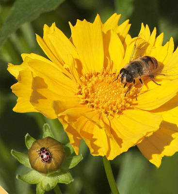 Bee And Ladybug On Coreopsis Poster