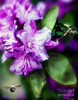Bee And Rhododendron In Spring Poster by Lance Theroux