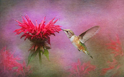 Bee Balm And Hummingbird Poster