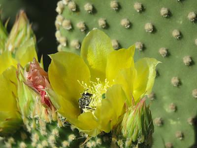 Bee-deep In Cactus Pollen Poster