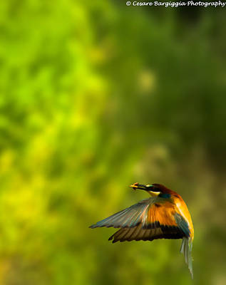 Bee Eater Poster by Cesare Bargiggia