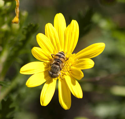 Bee Feeding Poster