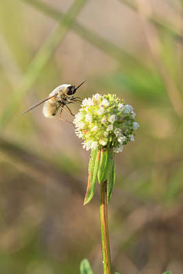 Bee Fly On A Wildflower Poster