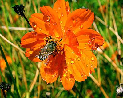 Bee Gathering Pollen On Desert Cosmos Poster by Merton Allen