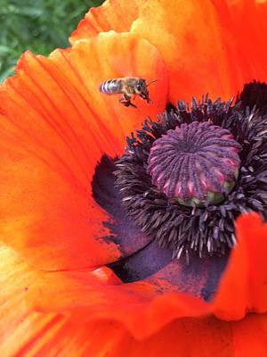 Bee Is Visiting A Poppy Poster