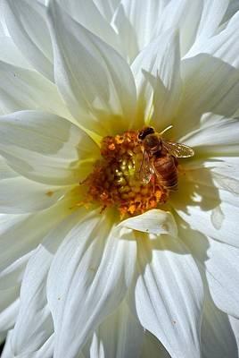 Bee Nice Dahlia  Poster