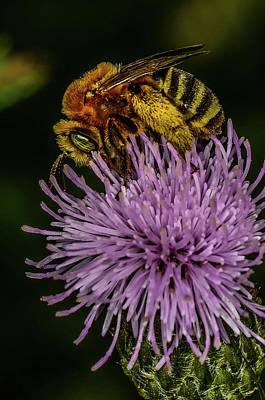 Poster featuring the photograph Bee On A Thistle by Paul Freidlund