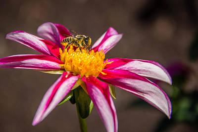 Bee On Dahlia Poster