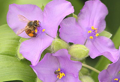 Poster featuring the photograph Bee On Purple Spiderwort by Sheila Brown