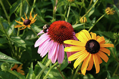 Bee On The Cone Flower Poster by Greg Joens