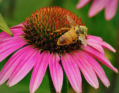 Bee Pollinating Echinacea Poster by Jean Noren