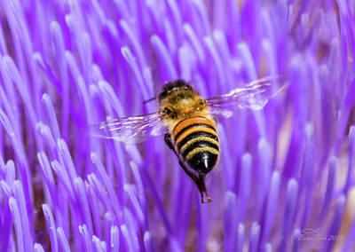 Bee With Artichoke Bloom Poster