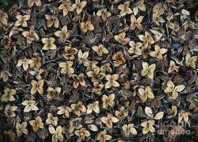 Beech Nut Husks Poster