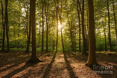 Beech Tree Woodland Summer Evening Poster