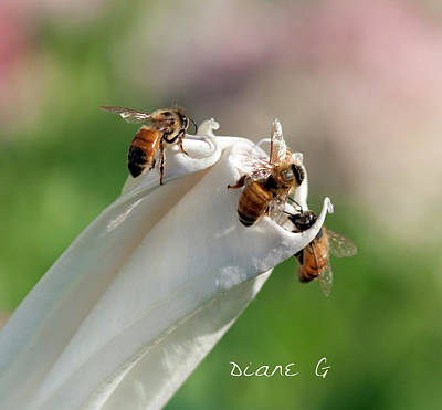 Bees On Angel Trumpet Poster