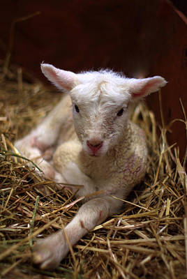 Behold The Lamb Poster by Linda Mishler