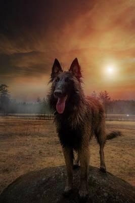 Belgian Shepherd Poster by Rose-Marie Karlsen