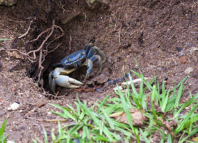 Belize Crab Poster