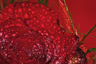 Bellissima Rosa Rossa Con Rugiada Poster by Orazio Puccio