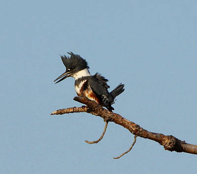 Poster featuring the photograph Belted Kingfisher  by Barbara Bowen