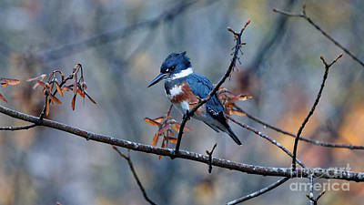 Belted Kingfisher Perch Poster
