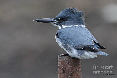 Belted Kingfisher Poster