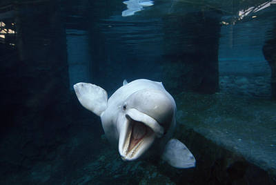 Beluga Whale Swimming With An Open Poster by Paul Sutherland