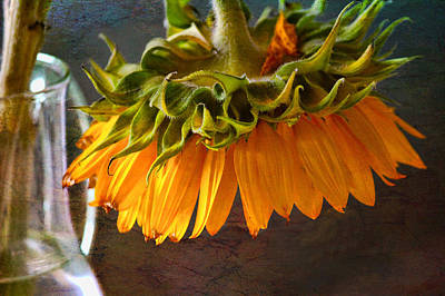 Poster featuring the photograph Bending  Sunflower by John Rivera