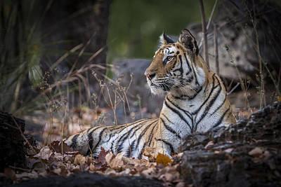 Bengal Tiger Poster by Hitendra SINKAR