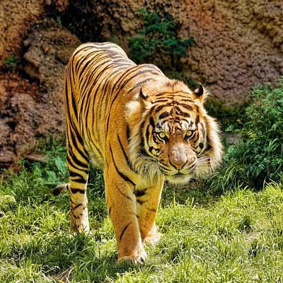 Bengal Tiger Poster by Jon Woodhams