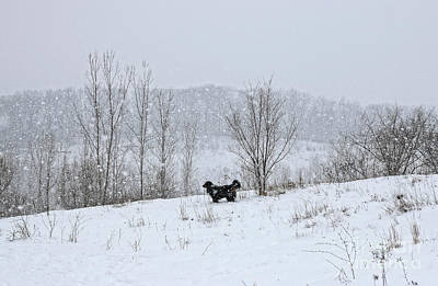 Poster featuring the photograph Bernes Mountain Dog In Snow by Charline Xia