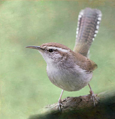 Bewick's Wren Poster by Angie Vogel
