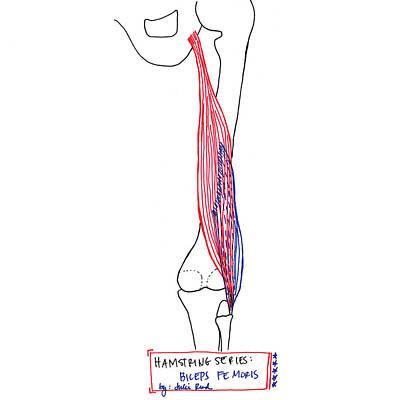 Biceps Femoris Poster